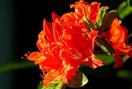 Orange Azalea 1 UTO