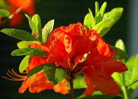 Orange Azalea 2 UTO
