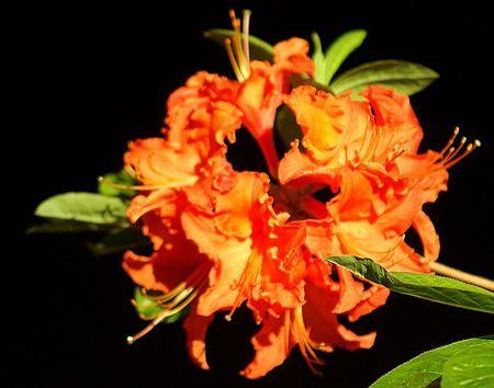 Orange Azalea 3 UTO